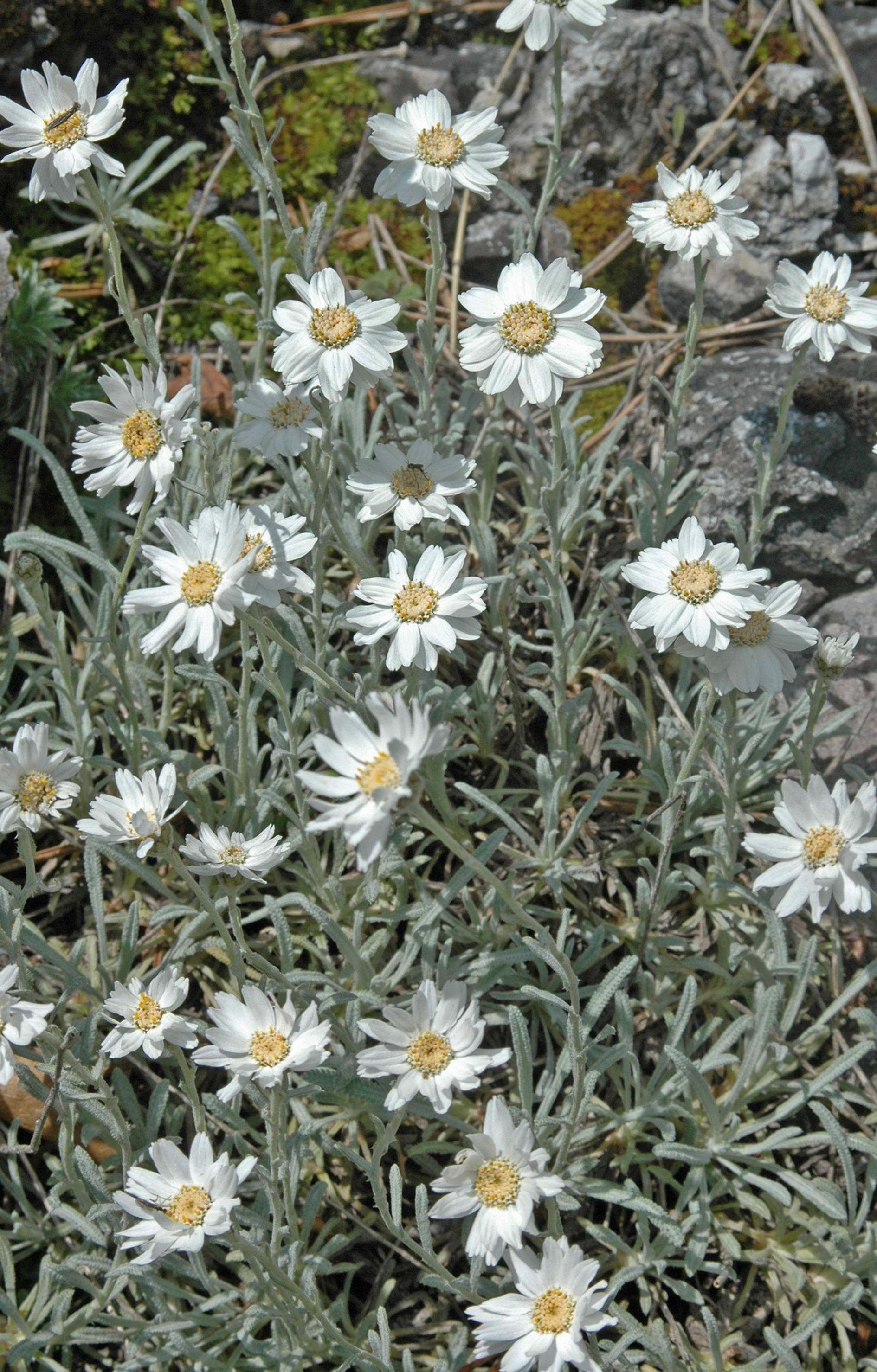 https://media.e-taxonomy.eu/flora-greece/large/Plate_03/AchilleaAgeratifolia18.jpg
