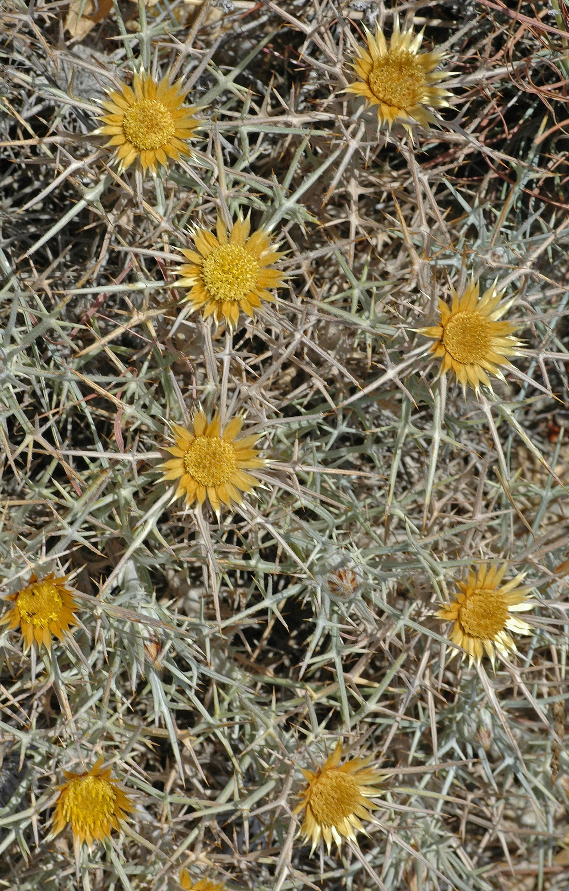 https://media.e-taxonomy.eu/flora-greece/large/Plate_03/CarlinaTragacanthifolia20.jpg
