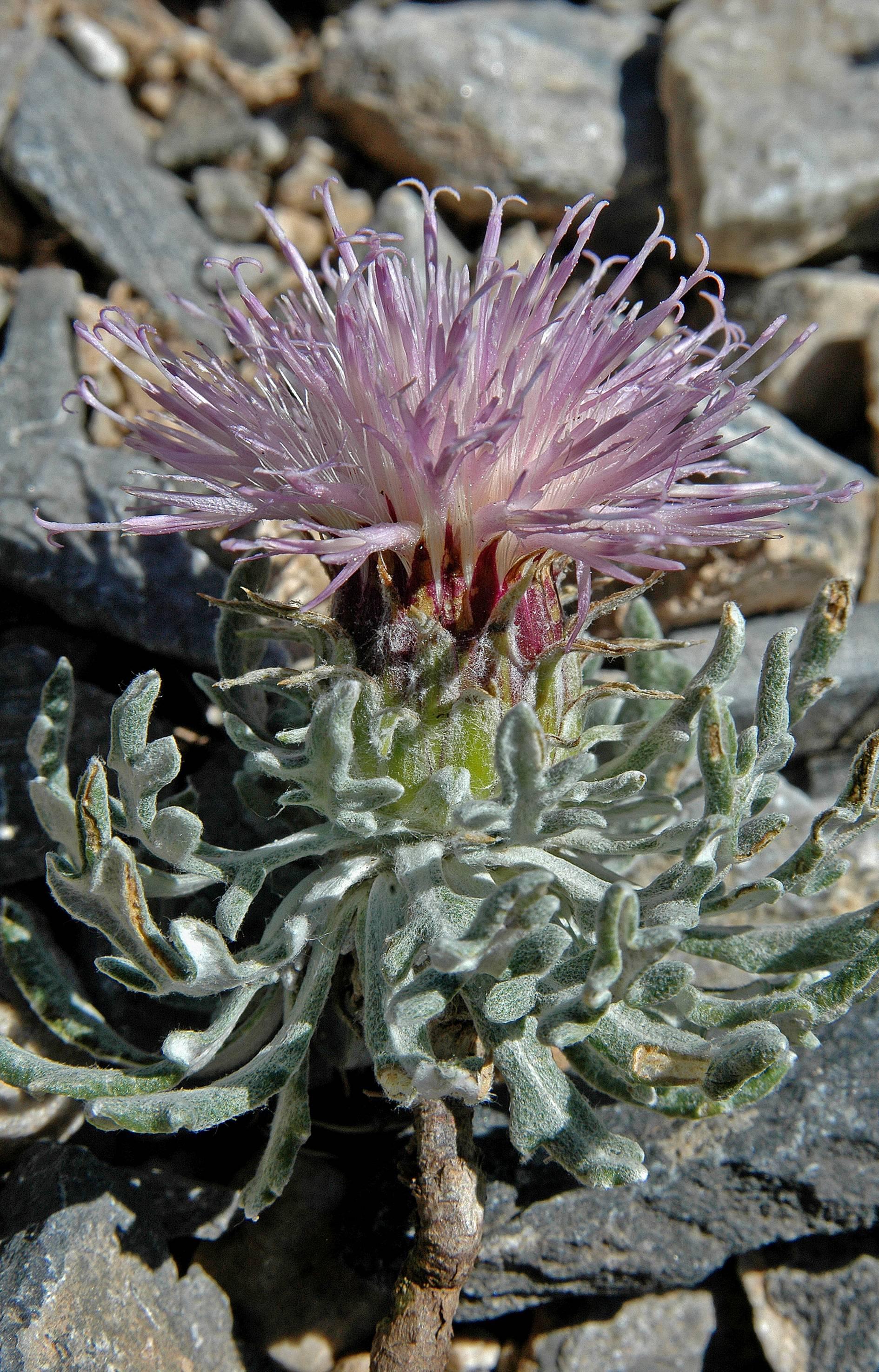 https://media.e-taxonomy.eu/flora-greece/large/Plate_04/JurineaTaygetea5.jpg