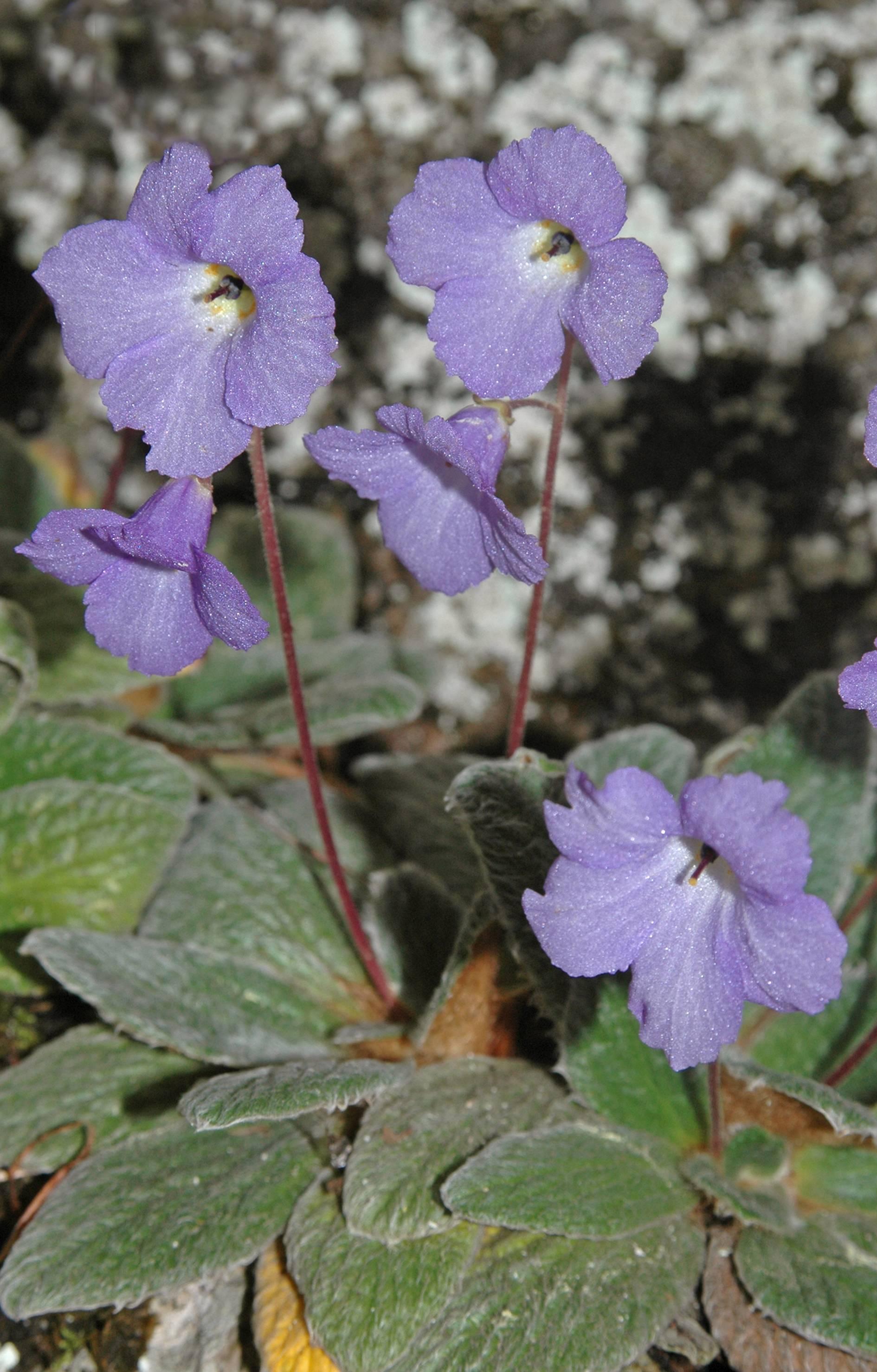 https://media.e-taxonomy.eu/flora-greece/large/Plate_12/JankaeaHeldreichii30.jpg