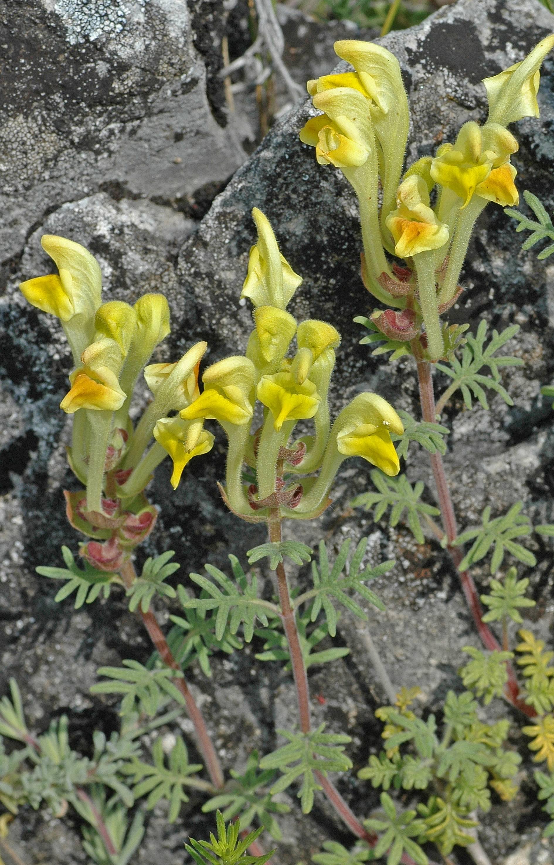 https://media.e-taxonomy.eu/flora-greece/large/Plate_15/ScutellariaOrientalis19.jpg