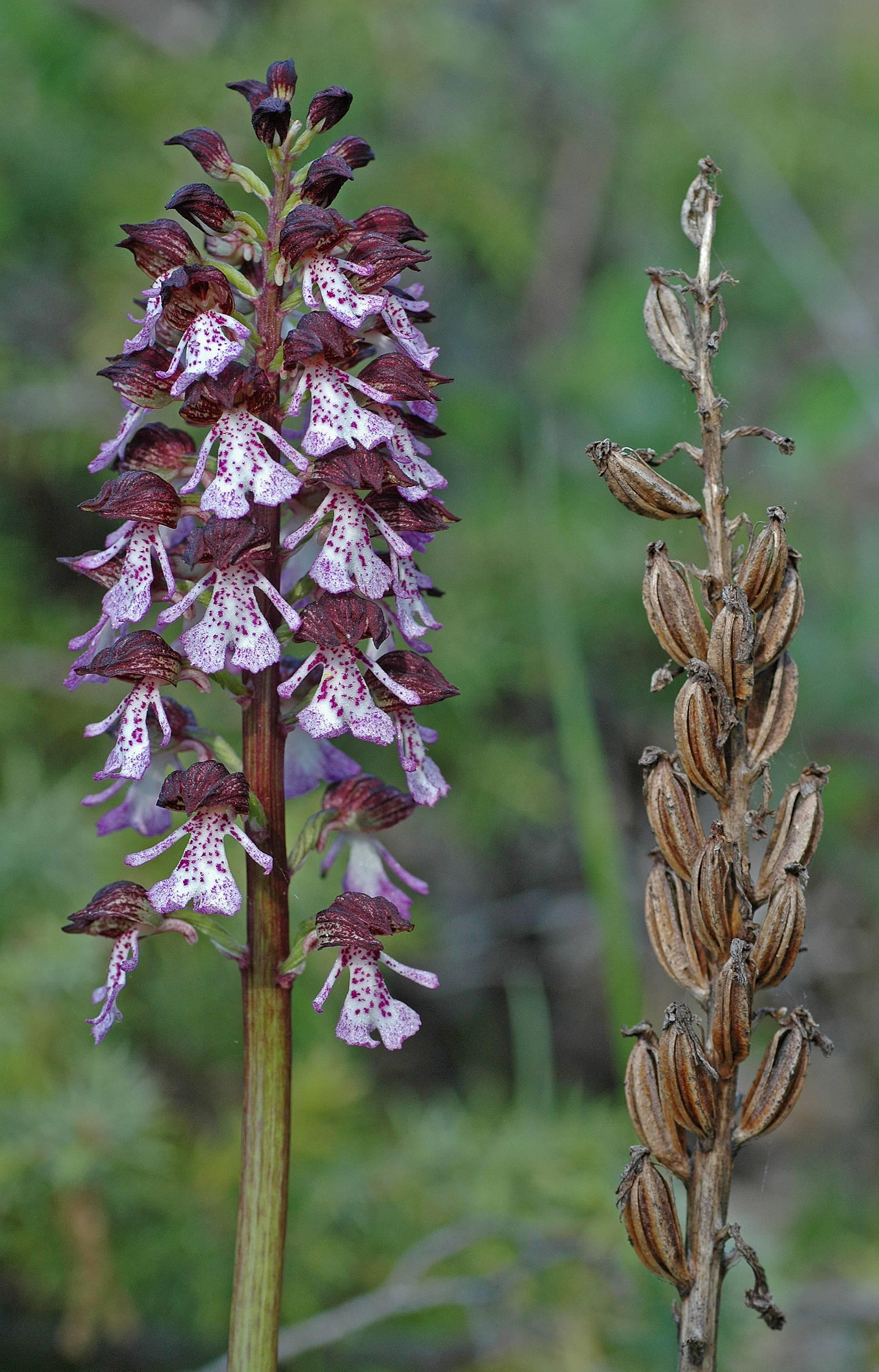 https://media.e-taxonomy.eu/flora-greece/large/Plate_18/OrchisPurpurea26.jpg