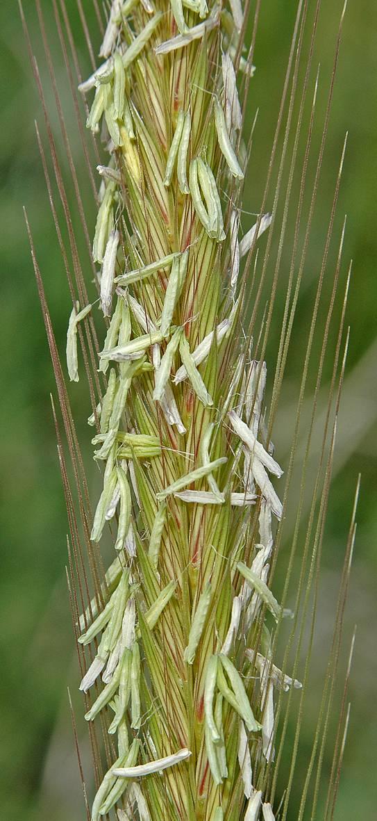 https://media.e-taxonomy.eu/flora-greece/large/Plate_19/HordeumBulbosum7.jpg