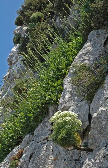 https://media.e-taxonomy.eu/flora-greece/medium/Plate_02/SeseliCrithmifolium5.jpg