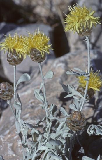 https://media.e-taxonomy.eu/flora-greece/medium/Plate_04/CentaureaMusarum2.jpg