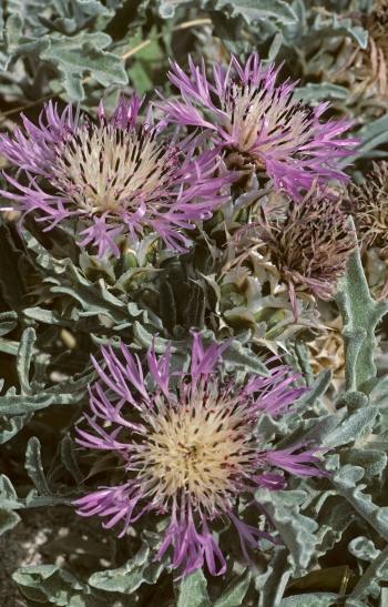 https://media.e-taxonomy.eu/flora-greece/medium/Plate_04/CentaureaPumilio2.jpg