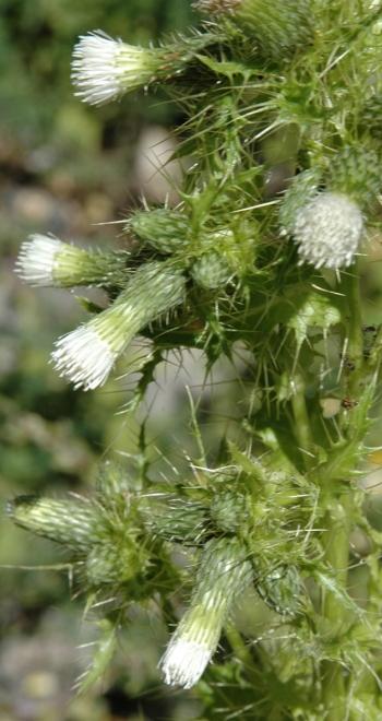 https://media.e-taxonomy.eu/flora-greece/medium/Plate_04/CirsiumCandelabrum11.jpg