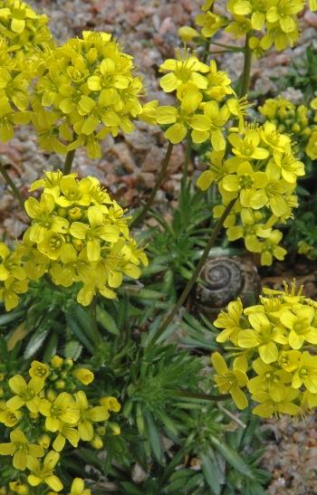 https://media.e-taxonomy.eu/flora-greece/medium/Plate_07/DrabaParnassica8.jpg