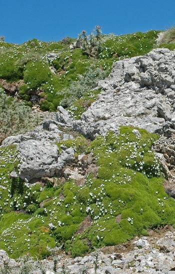 https://media.e-taxonomy.eu/flora-greece/medium/Plate_08/MinuartiaStellata10.jpg