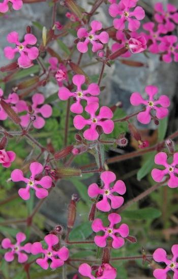 https://media.e-taxonomy.eu/flora-greece/medium/Plate_08/SaponariaCalabrica8.jpg