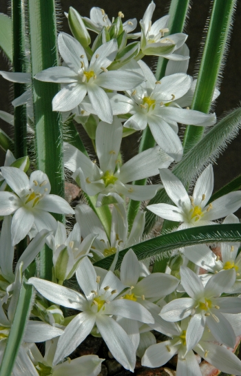 https://media.e-taxonomy.eu/flora-greece/medium/Plate_13/OrnithogalumFimbriatum6.jpg