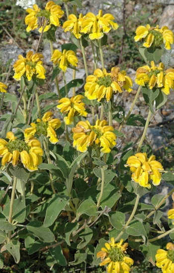 https://media.e-taxonomy.eu/flora-greece/medium/Plate_14/PhlomisFruticosa7.jpg