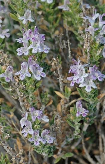 https://media.e-taxonomy.eu/flora-greece/medium/Plate_15/SaturejaAthoa13.jpg