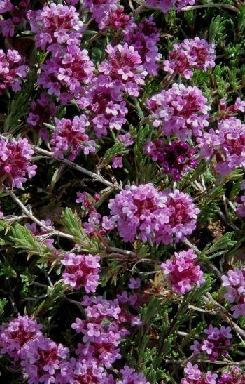 https://media.e-taxonomy.eu/flora-greece/medium/Plate_15/ThymusBoissieri3.jpg