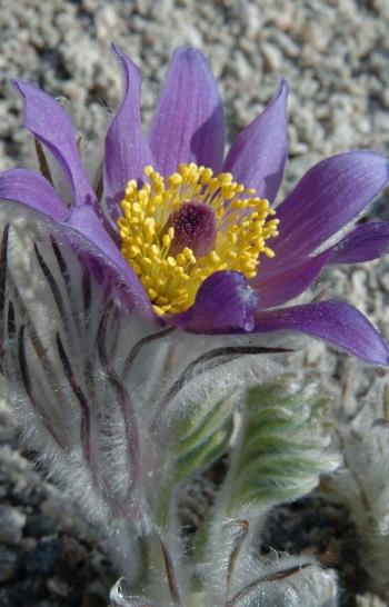 https://media.e-taxonomy.eu/flora-greece/medium/Plate_20/PulsatillaHalleriRhodopaea2.jpg