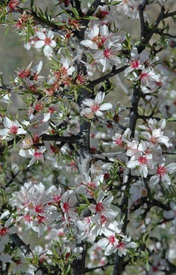 https://media.e-taxonomy.eu/flora-greece/medium/Plate_21/PrunusWebbii1.jpg
