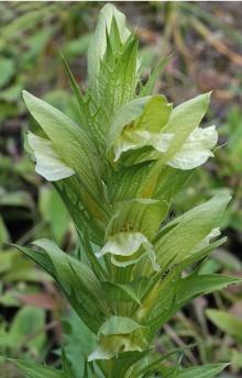 https://media.e-taxonomy.eu/flora-greece/thumbs/Plate_01/AcanthusGreuterianus7.jpg