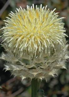 https://media.e-taxonomy.eu/flora-greece/thumbs/Plate_03/CentaureaLactucifolia4.jpg