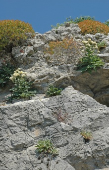 https://media.e-taxonomy.eu/flora-greece/thumbs/Plate_03/CentaureaLactucifolia7.jpg