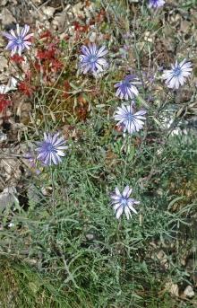 https://media.e-taxonomy.eu/flora-greece/thumbs/Plate_04/LactucaPerennis8.jpg