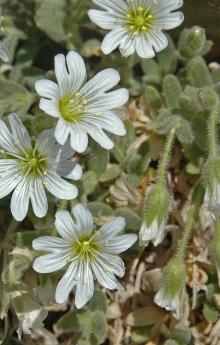 https://media.e-taxonomy.eu/flora-greece/thumbs/Plate_08/CerastiumTheophrasti11.jpg