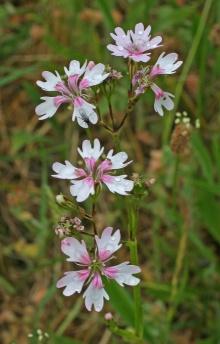 https://media.e-taxonomy.eu/flora-greece/thumbs/Plate_08/LychnisSubintegra4_Jordan.jpg