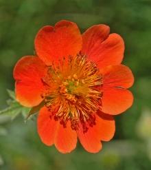 https://media.e-taxonomy.eu/flora-greece/thumbs/Plate_21/GeumCoccineum19.jpg