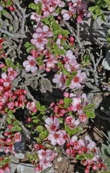 https://media.e-taxonomy.eu/flora-greece/thumbs/Plate_21/PrunusProstrata32.jpg